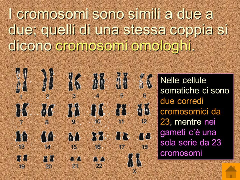 I cromosomi sono simili a due a due; quelli di una stessa coppia si dicono cromosomi omologhi.