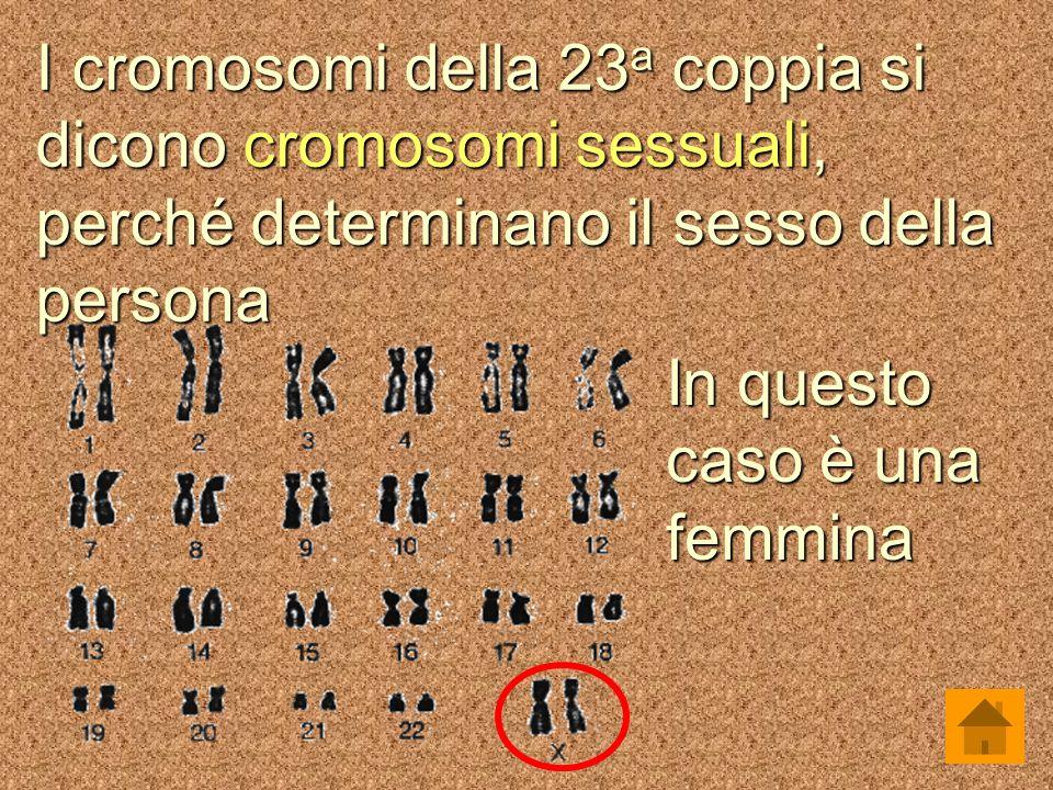 I cromosomi della 23 a coppia si dicono cromosomi sessuali, perché determinano il sesso della persona In questo caso è una femmina