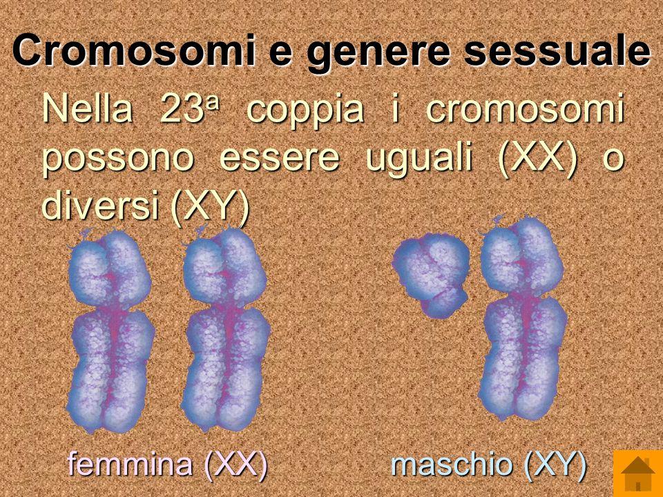 Cromosomi e genere sessuale Nella 23 a coppia i cromosomi possono essere uguali (XX) o diversi (XY) femmina (XX) maschio (XY)
