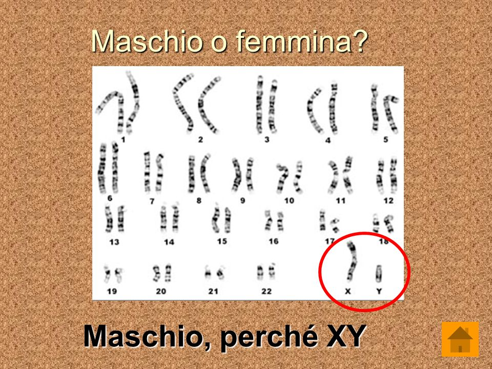 Maschio o femmina? Maschio, perché XY