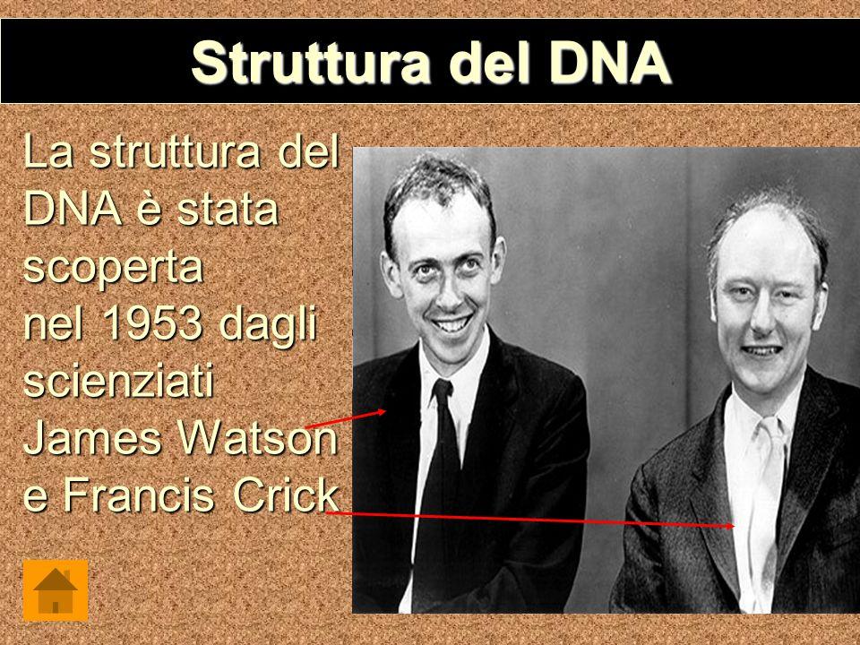 Struttura del DNA La struttura del DNA è stata scoperta nel 1953 dagli scienziati James Watson e Francis Crick