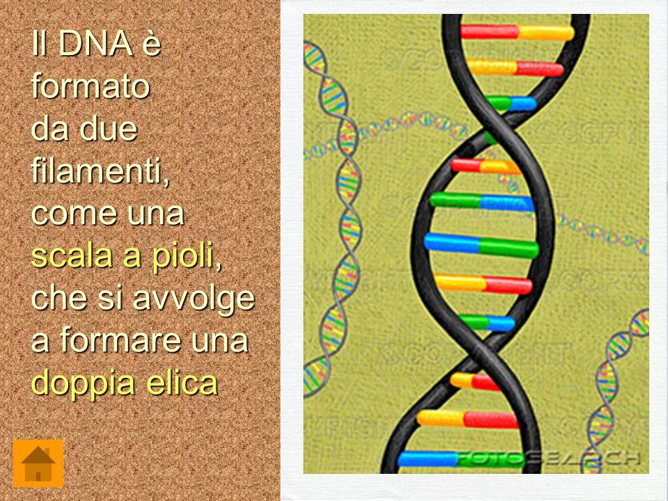 Il DNA è formato da due filamenti, come una scala a pioli, che si avvolge a formare una doppia elica