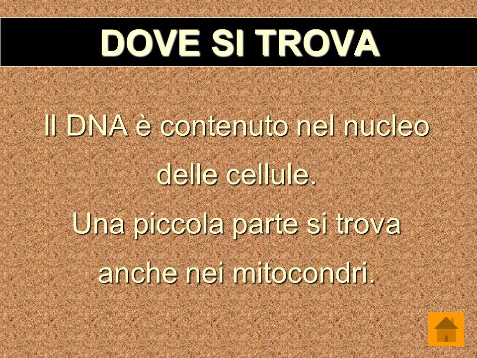 DOVE SI TROVA Il DNA è contenuto nel nucleo delle cellule.