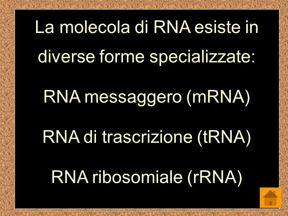 La molecola di RNA esiste in diverse forme specializzate: RNA messaggero (mRNA) RNA di trascrizione (tRNA) RNA ribosomiale (rRNA)