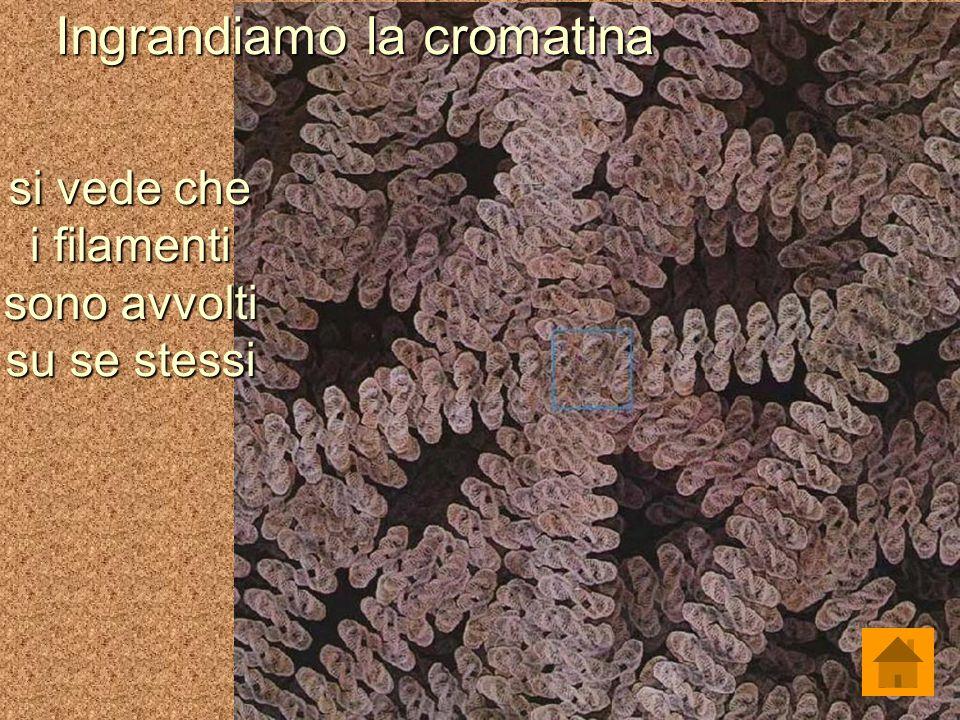 Ingrandiamo la cromatina si vede che i filamenti sono avvolti su se stessi