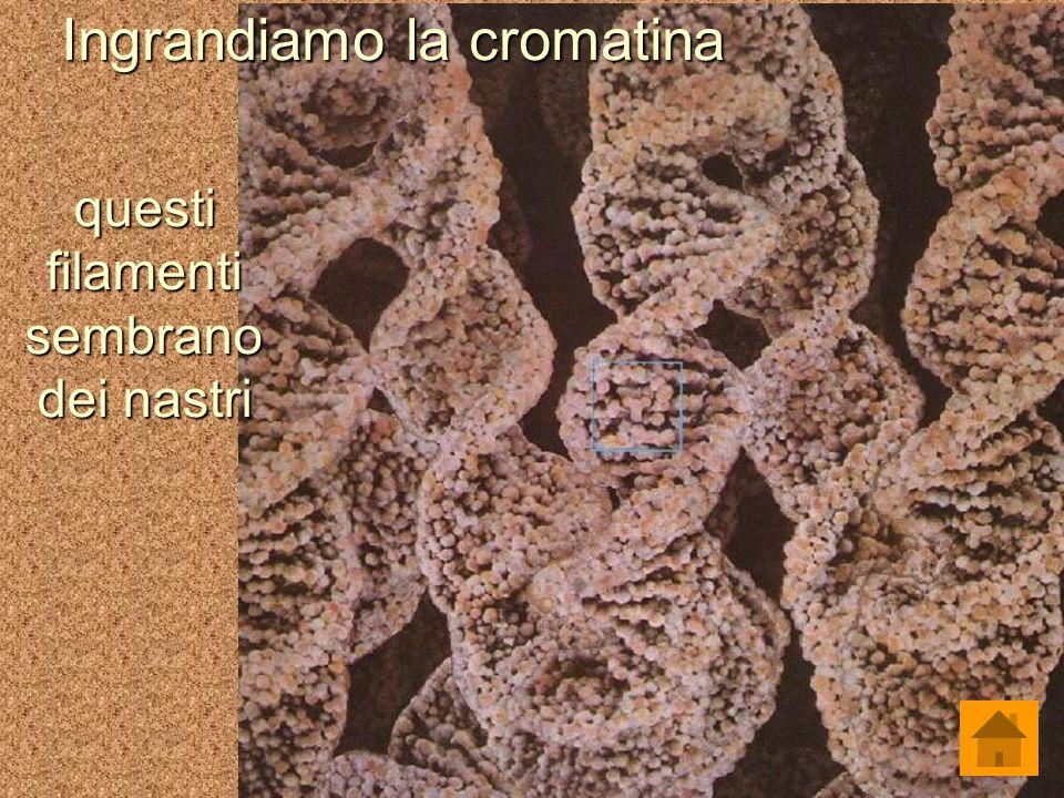Ingrandiamo la cromatina questi filamenti sembrano dei nastri
