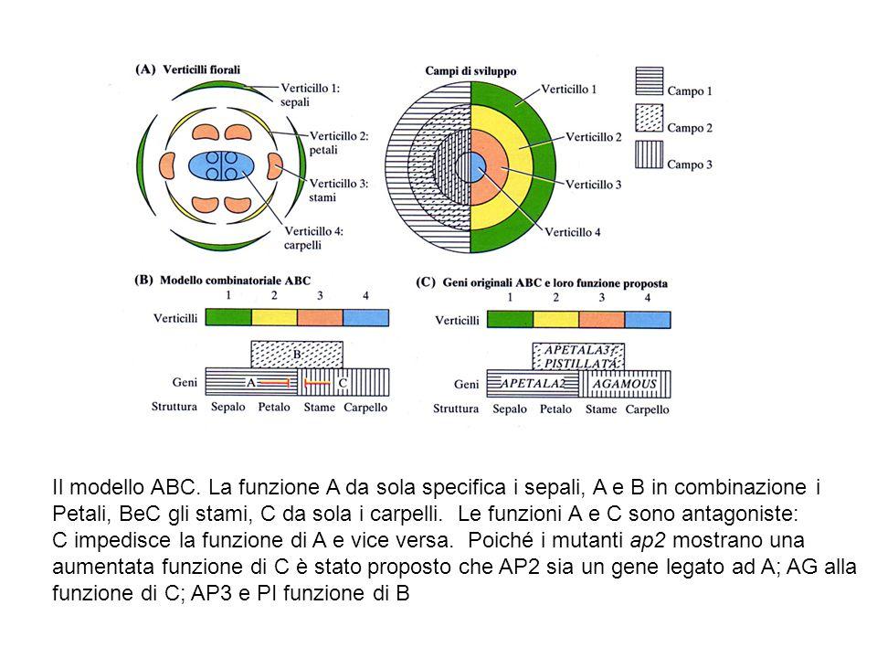 Il modello ABC. La funzione A da sola specifica i sepali, A e B in combinazione i Petali, BeC gli stami, C da sola i carpelli. Le funzioni A e C sono