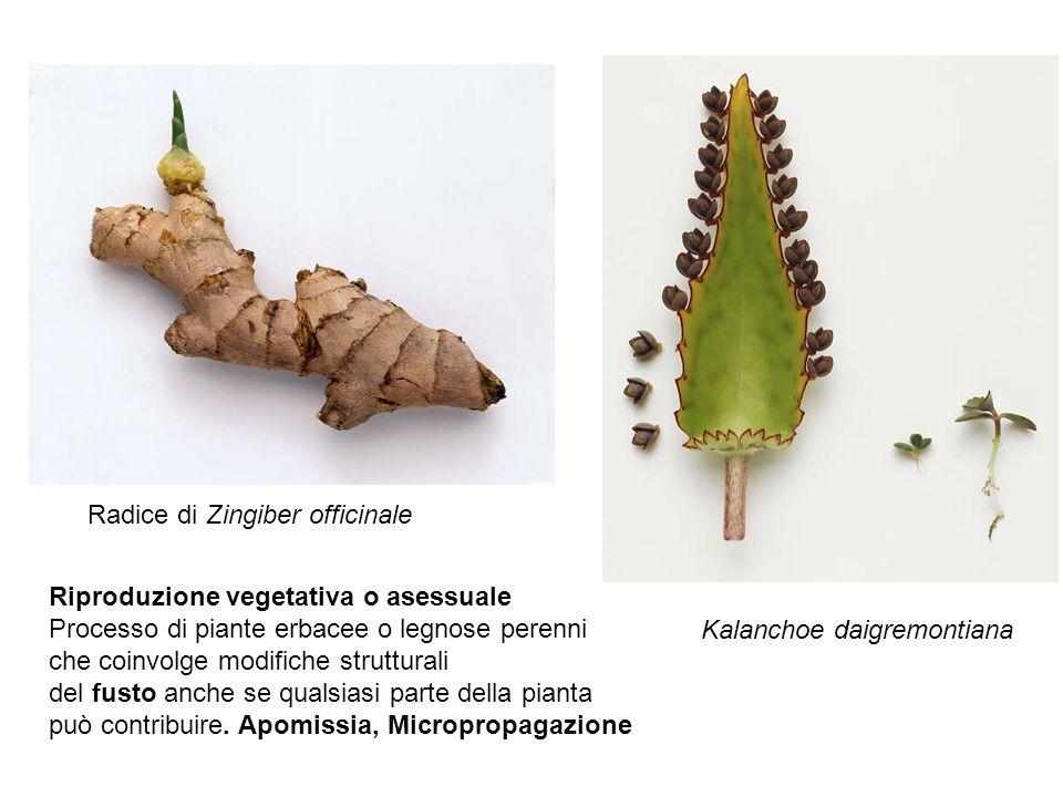 La riproduzione per mezzo di stoloni è piuttosto nota poiché interessa, tra l altro, piante dei giardini e degli orti come la fragola e la viola mammola (Viola odorata) e piante da appartamento come la fettuccia .