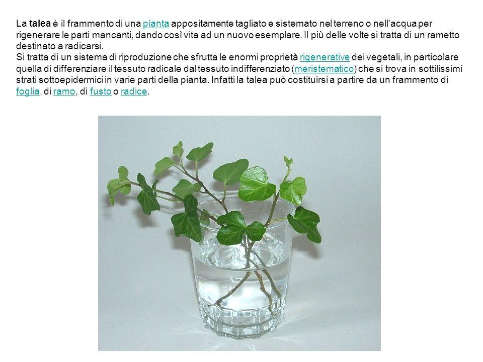 La talea è il frammento di una pianta appositamente tagliato e sistemato nel terreno o nell'acqua per rigenerare le parti mancanti, dando così vita ad
