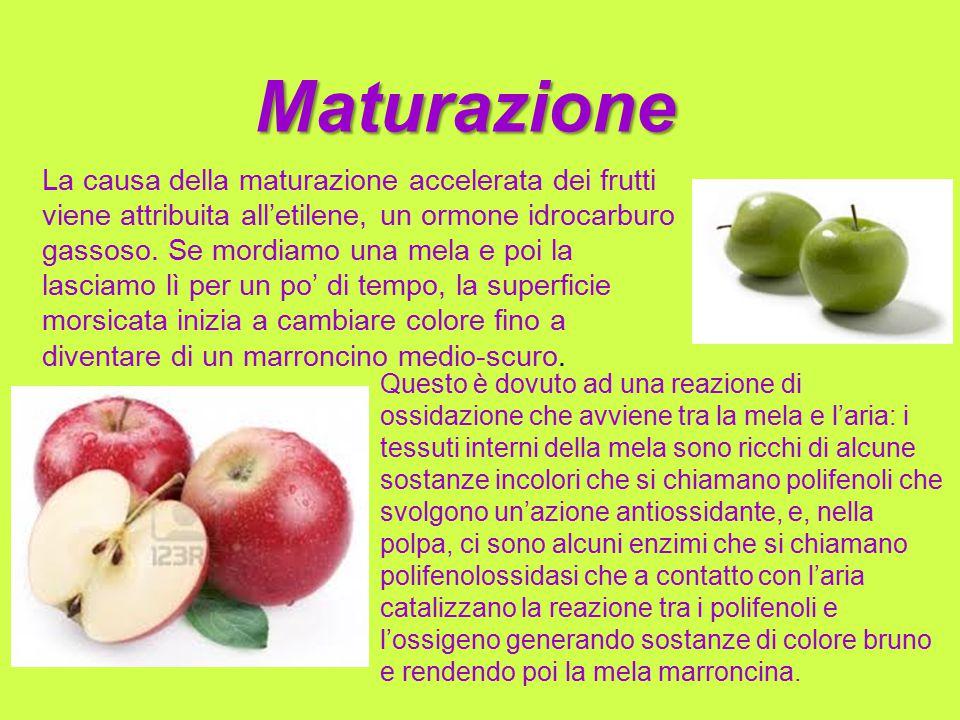 Maturazione La causa della maturazione accelerata dei frutti viene attribuita all'etilene, un ormone idrocarburo gassoso. Se mordiamo una mela e poi l