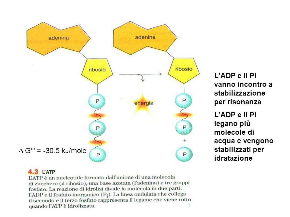 G°' = -30.5 kJ/mole L'ADP e il Pi vanno incontro a stabilizzazione per risonanza L'ADP e il Pi legano più molecole di acqua e vengono stabilizzati