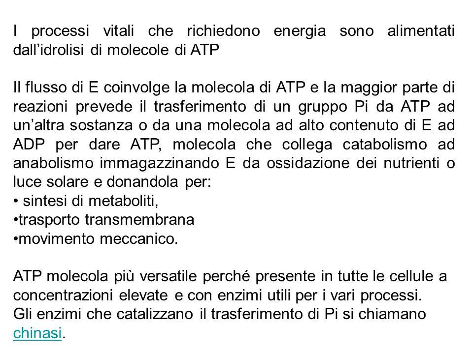 I processi vitali che richiedono energia sono alimentati dall'idrolisi di molecole di ATP Il flusso di E coinvolge la molecola di ATP e la maggior par