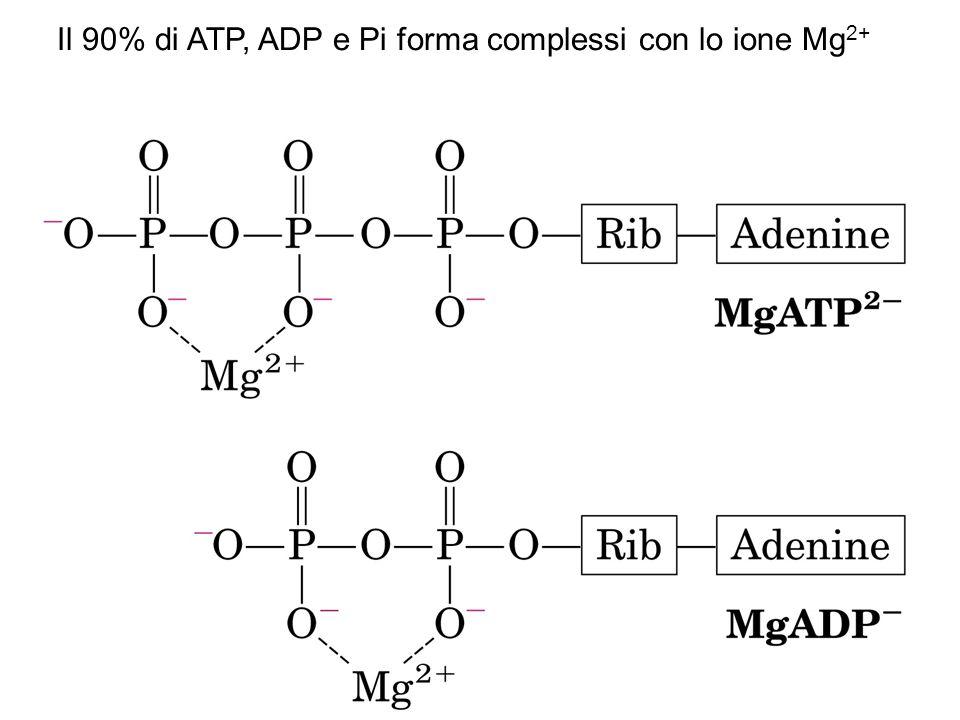 Il 90% di ATP, ADP e Pi forma complessi con lo ione Mg 2+