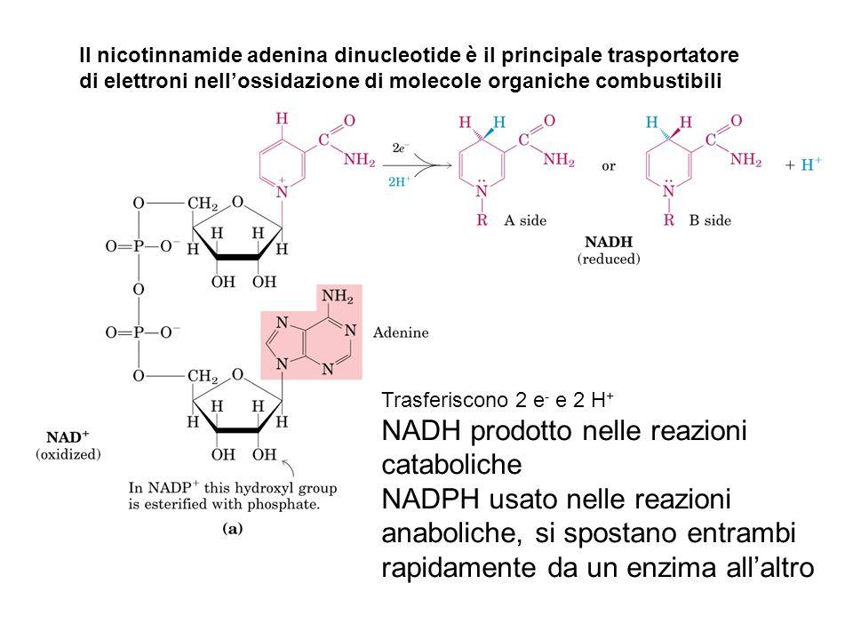 Trasferiscono 2 e - e 2 H + NADH prodotto nelle reazioni cataboliche NADPH usato nelle reazioni anaboliche, si spostano entrambi rapidamente da un enz