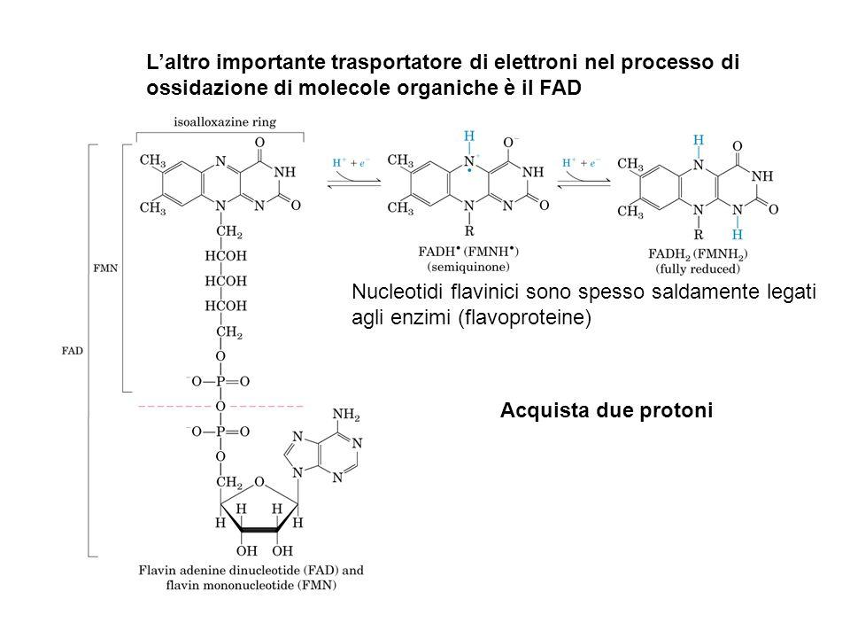 Nucleotidi flavinici sono spesso saldamente legati agli enzimi (flavoproteine) L'altro importante trasportatore di elettroni nel processo di ossidazio