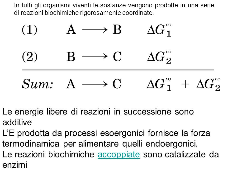 Le energie libere di reazioni in successione sono additive L'E prodotta da processi esoergonici fornisce la forza termodinamica per alimentare quelli