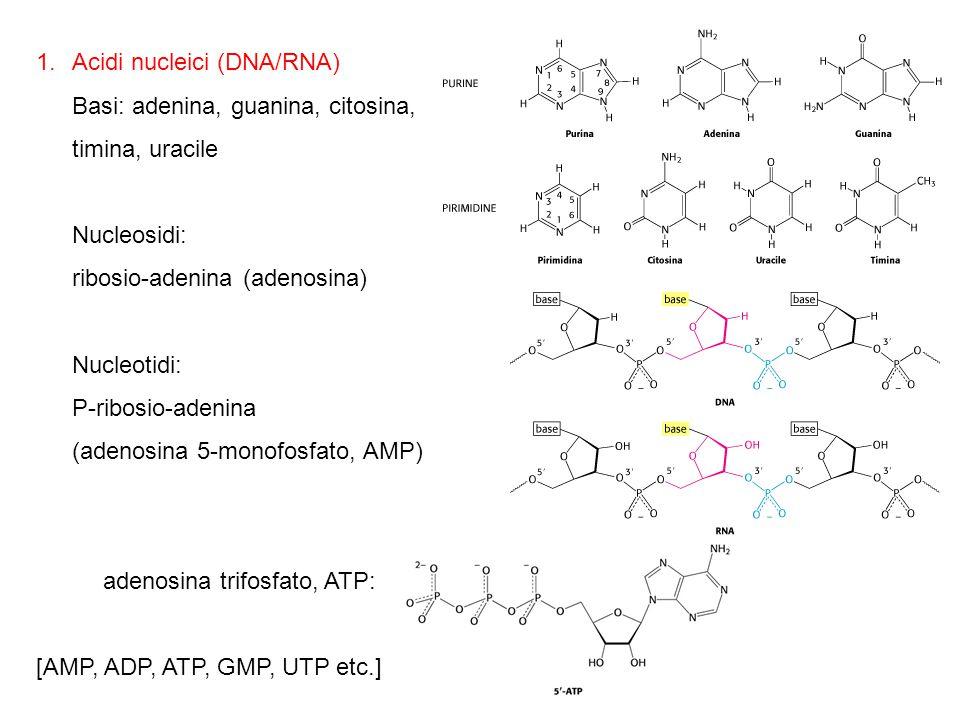 1.Acidi nucleici (DNA/RNA) Basi: adenina, guanina, citosina, timina, uracile Nucleosidi: ribosio-adenina (adenosina) Nucleotidi: P-ribosio-adenina (ad