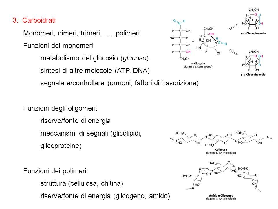 3. Carboidrati Monomeri, dimeri, trimeri…….polimeri Funzioni dei monomeri: metabolismo del glucosio (glucoso) sintesi di altre molecole (ATP, DNA) seg