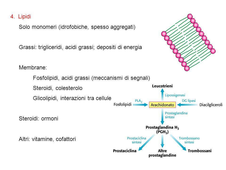 4. Lipidi Solo monomeri (idrofobiche, spesso aggregati) Grassi: trigliceridi, acidi grassi; depositi di energia Membrane: Fosfolipidi, acidi grassi (m