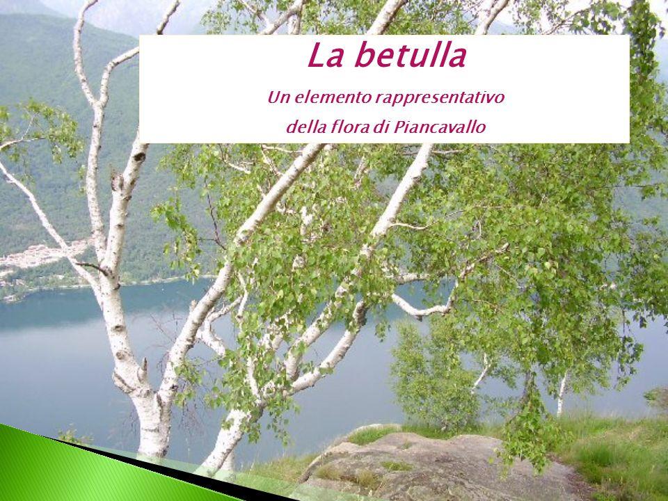 La betulla Un elemento rappresentativo della flora di Piancavallo