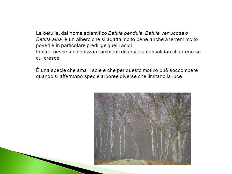 La betulla, dal nome scientifico Betula pendula, Betula verrucosa o Betula alba, è un albero che si adatta molto bene anche a terreni molto poveri e i