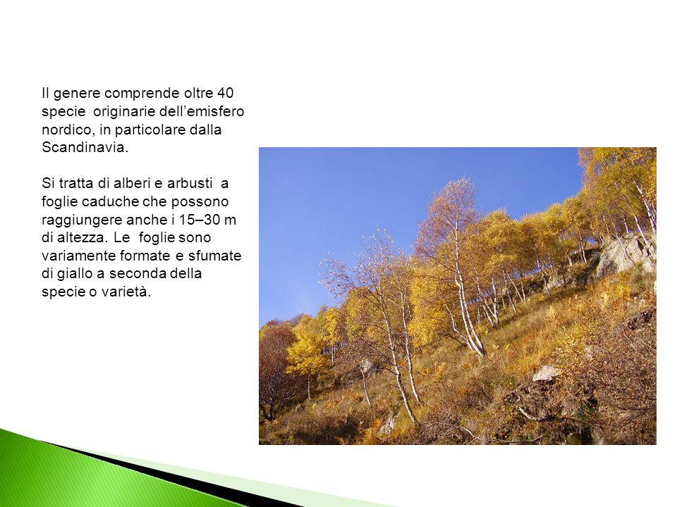 Il genere comprende oltre 40 specie originarie dell'emisfero nordico, in particolare dalla Scandinavia. Si tratta di alberi e arbusti a foglie caduche