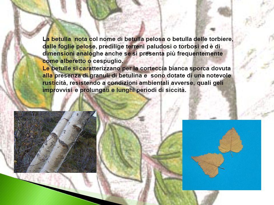 La betulla nota col nome di betulla pelosa o betulla delle torbiere, dalle foglie pelose, predilige terreni paludosi o torbosi ed è di dimensioni anal