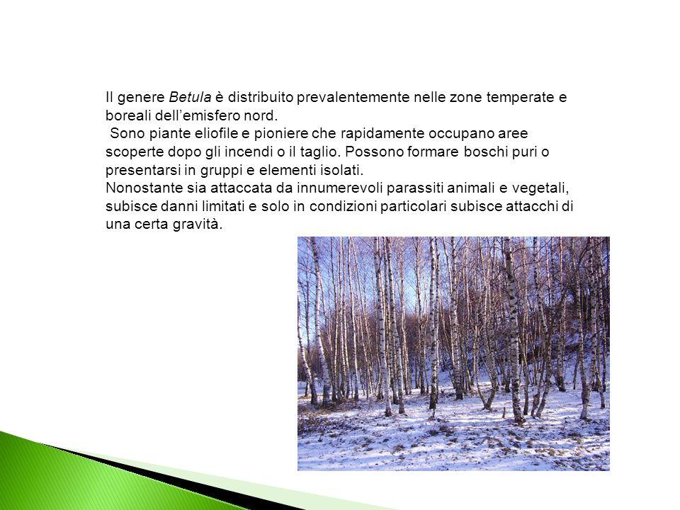 Il genere Betula è distribuito prevalentemente nelle zone temperate e boreali dell'emisfero nord. Sono piante eliofile e pioniere che rapidamente occu