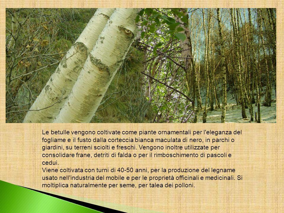 Le betulle vengono coltivate come piante ornamentali per l'eleganza del fogliame e il fusto dalla corteccia bianca maculata di nero, in parchi o giard