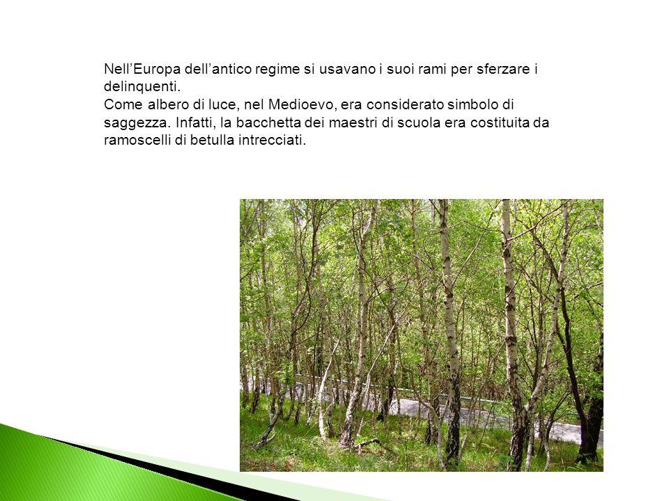 La betulla era considerata dai Celti come l'albero preposto al mese che cominciava con il solstizio d'inverno, un albero aurorale , il primo nella foresta nordica a mettere le foglie insieme con il sambuco.