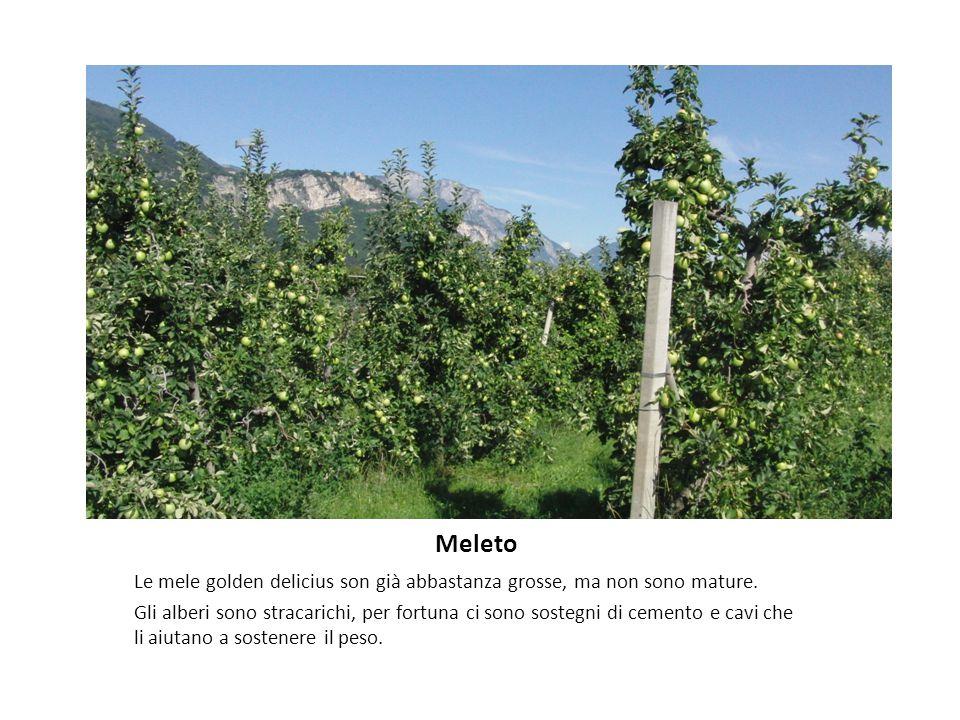Meleto Le mele golden delicius son già abbastanza grosse, ma non sono mature.