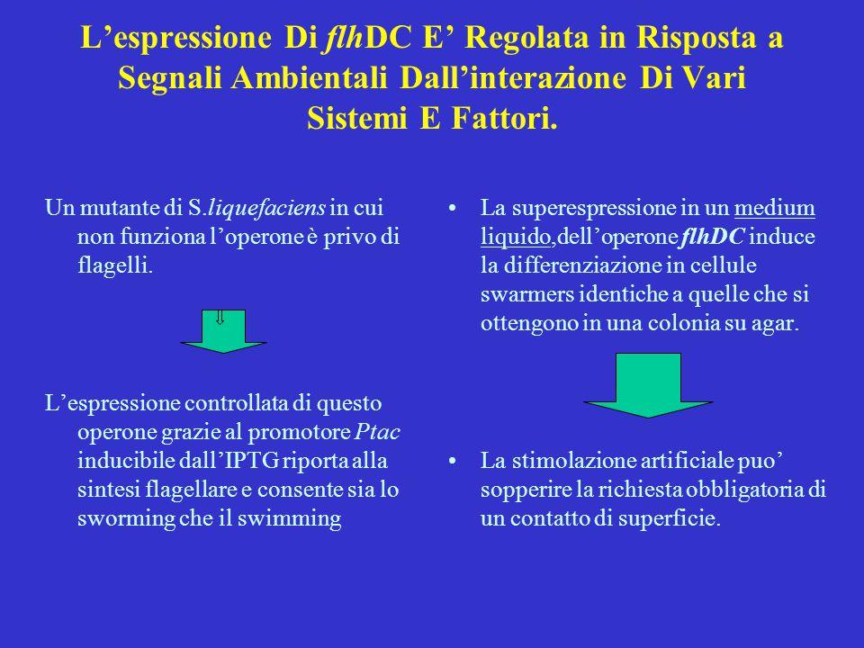 L'espressione Di flhDC E' Regolata in Risposta a Segnali Ambientali Dall'interazione Di Vari Sistemi E Fattori. Un mutante di S.liquefaciens in cui no
