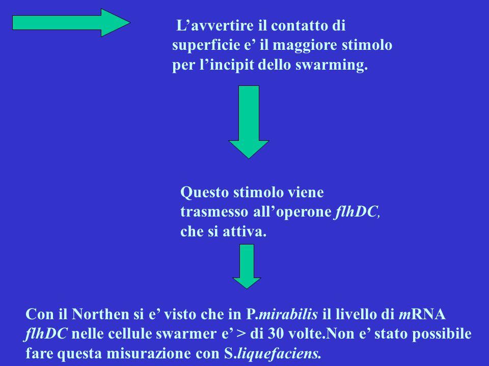 L'avvertire il contatto di superficie e' il maggiore stimolo per l'incipit dello swarming. Questo stimolo viene trasmesso all'operone flhDC, che si at