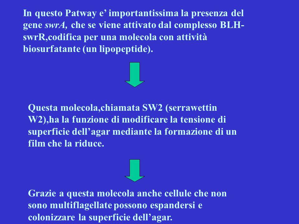 In questo Patway e' importantissima la presenza del gene swrA, che se viene attivato dal complesso BLH- swrR,codifica per una molecola con attività bi