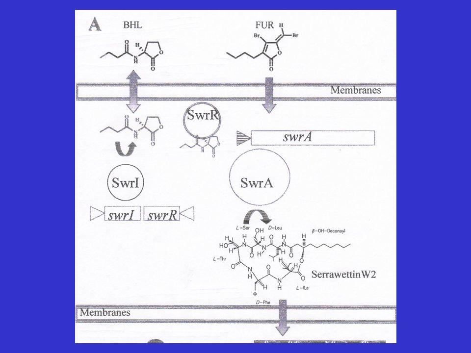 Entrambi i sistemi regolano anche la produzione di esoenzimi,utili in un eventuale attività patogenica di S.Liquefaciens.