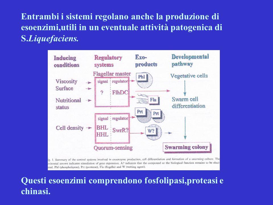 Entrambi i sistemi regolano anche la produzione di esoenzimi,utili in un eventuale attività patogenica di S.Liquefaciens. Questi esoenzimi comprendono