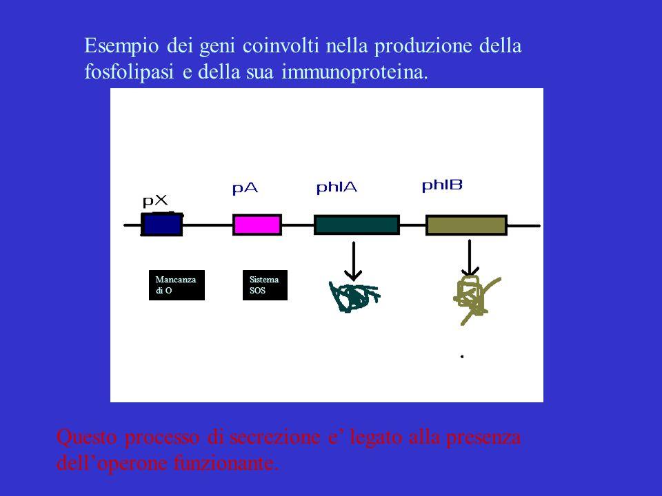 Esempio dei geni coinvolti nella produzione della fosfolipasi e della sua immunoproteina. Mancanza di O Sistema SOS Questo processo di secrezione e' l