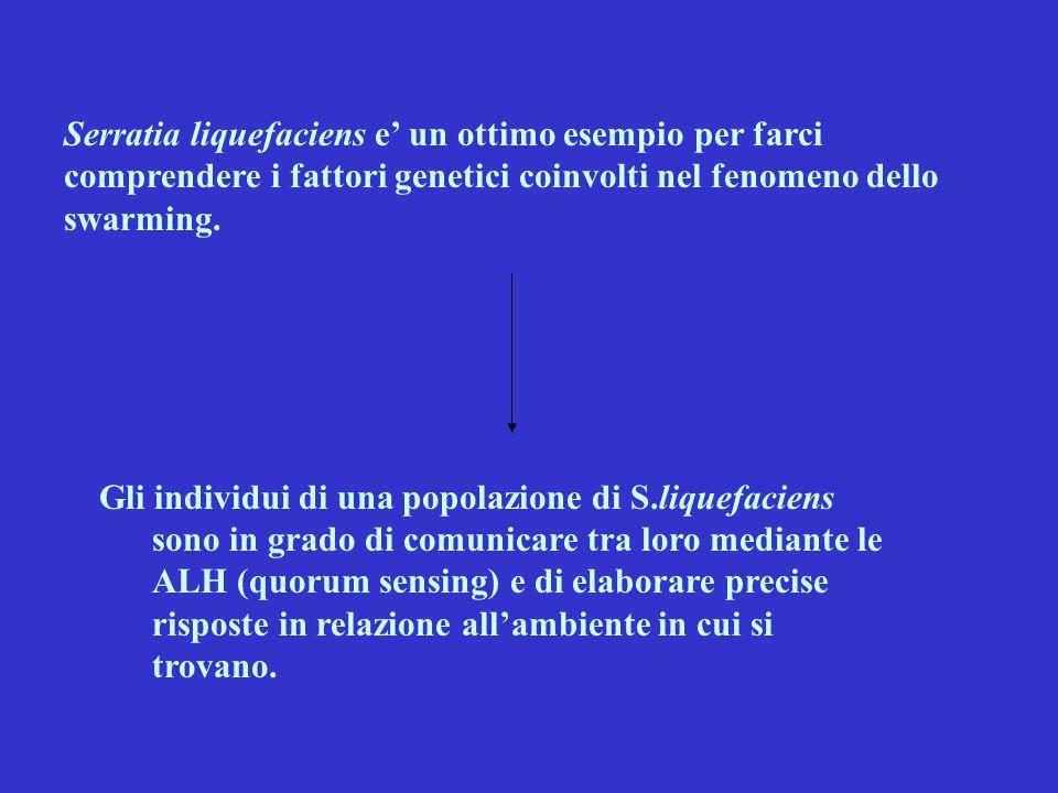 Serratia liquefaciens e' un ottimo esempio per farci comprendere i fattori genetici coinvolti nel fenomeno dello swarming. Gli individui di una popola