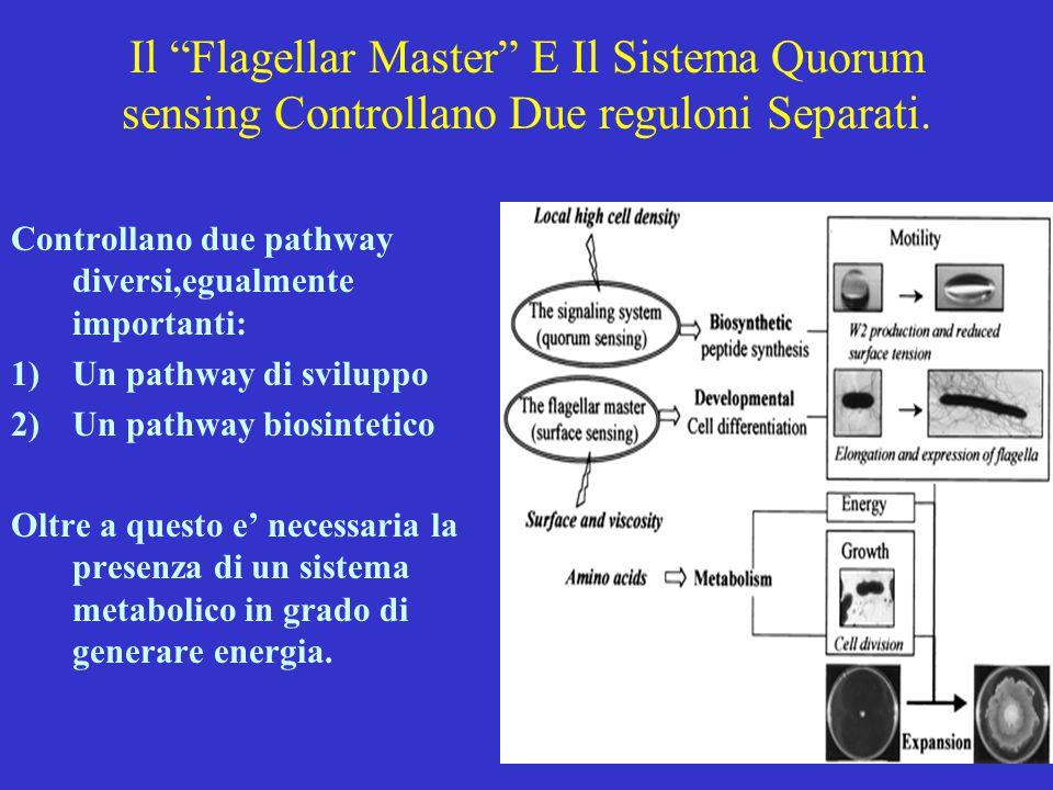 """Il """"Flagellar Master"""" E Il Sistema Quorum sensing Controllano Due reguloni Separati. Controllano due pathway diversi,egualmente importanti: 1)Un pathw"""