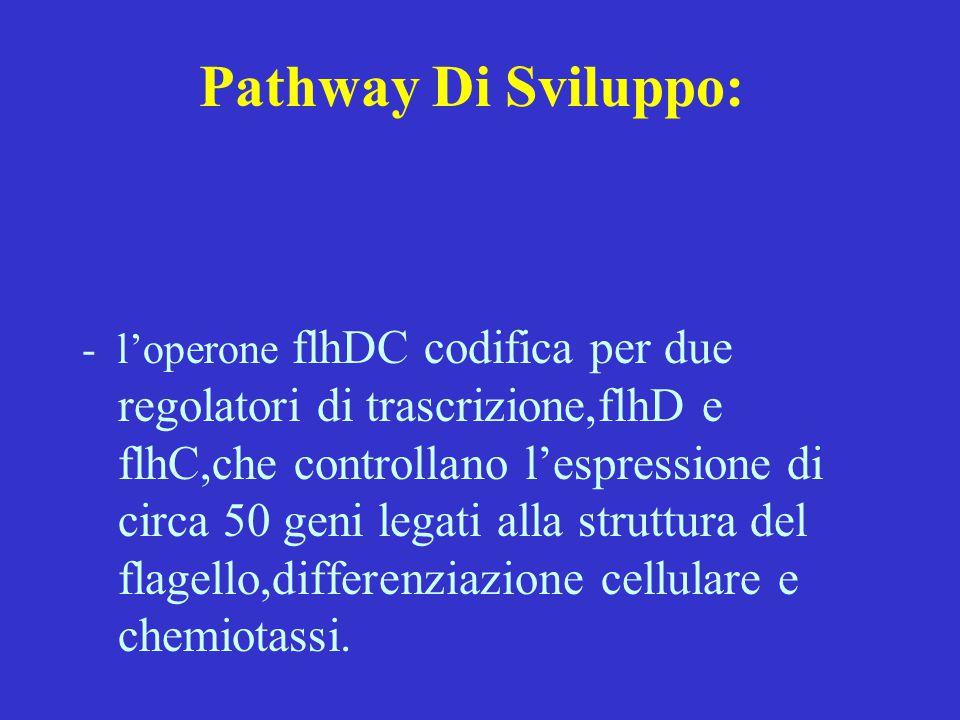 Pathway Di Sviluppo: - l'operone flhDC codifica per due regolatori di trascrizione,flhD e flhC,che controllano l'espressione di circa 50 geni legati a