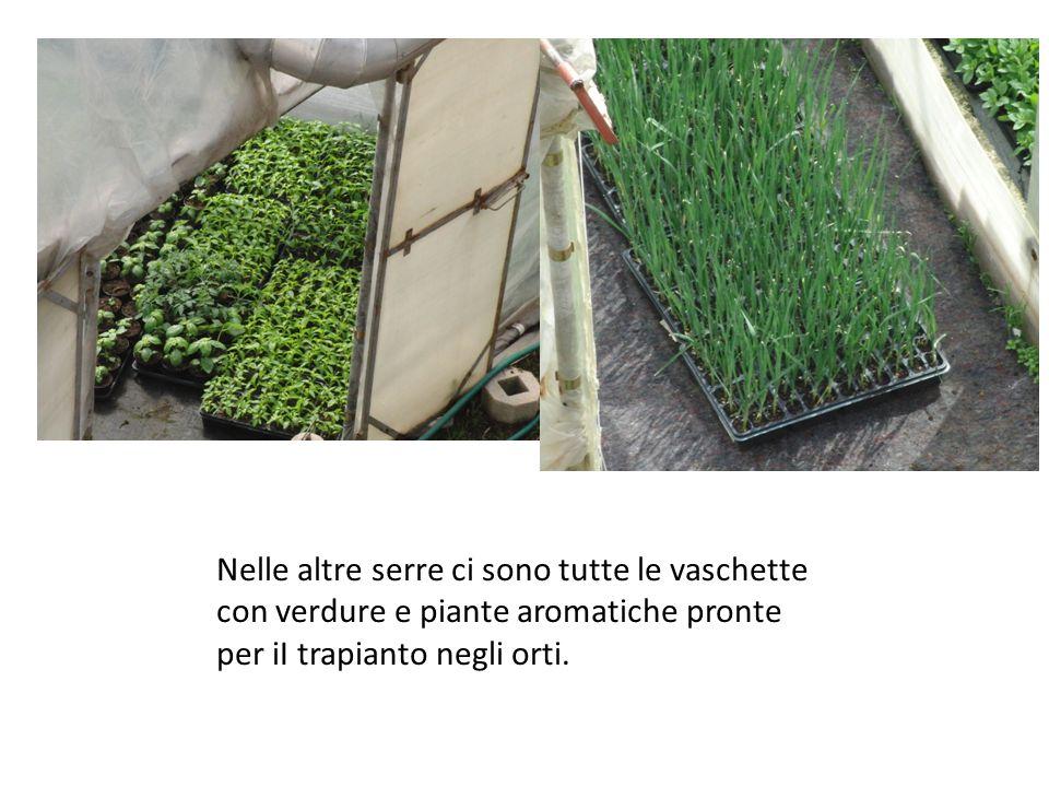 Nelle altre serre ci sono tutte le vaschette con verdure e piante aromatiche pronte per iI trapianto negli orti.