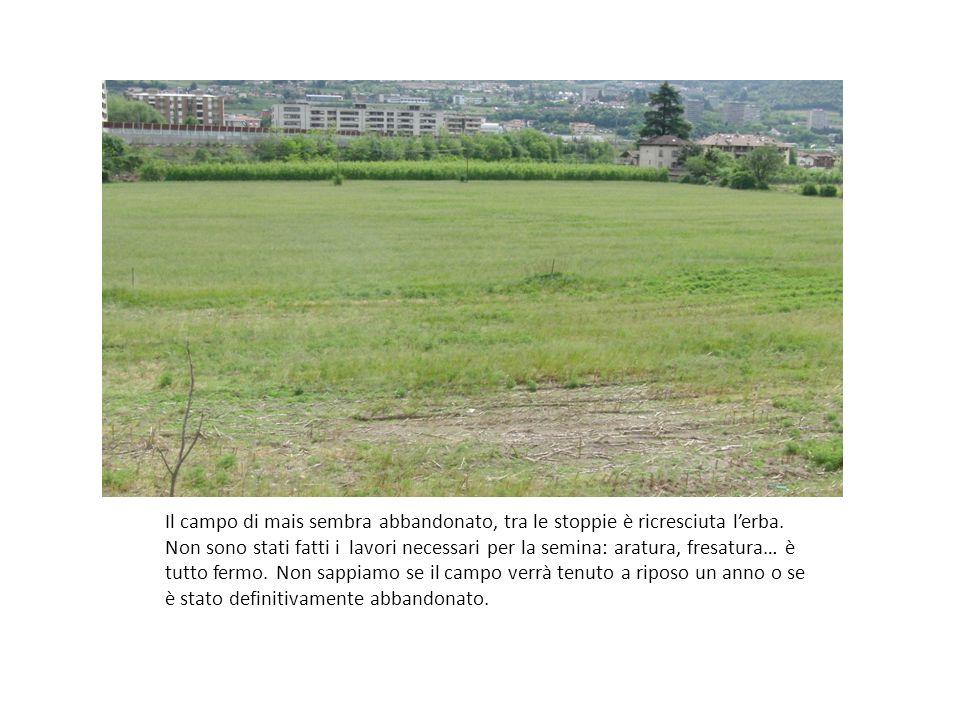 Il campo di mais sembra abbandonato, tra le stoppie è ricresciuta l'erba.