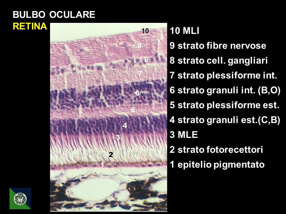 BULBO OCULARE RETINA 10 MLI 9 strato fibre nervose 8 strato cell. gangliari 7 strato plessiforme int. 6 strato granuli int. (B,O) 5 strato plessiforme