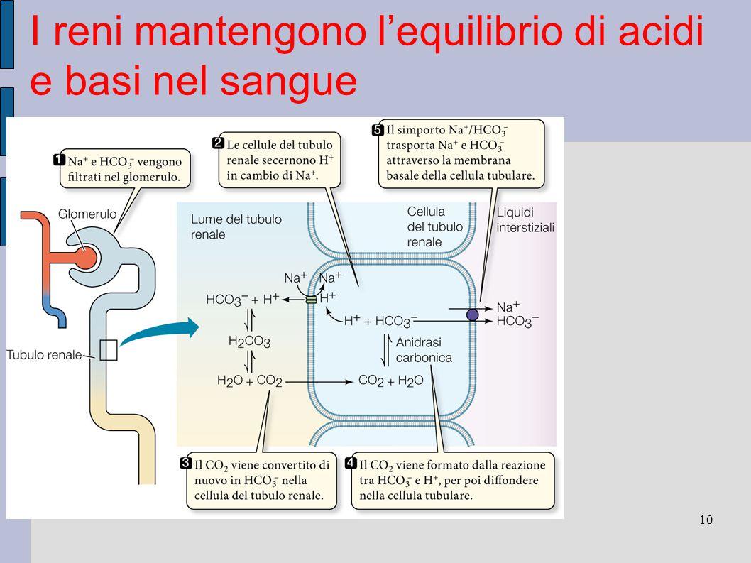 10 I reni mantengono l'equilibrio di acidi e basi nel sangue