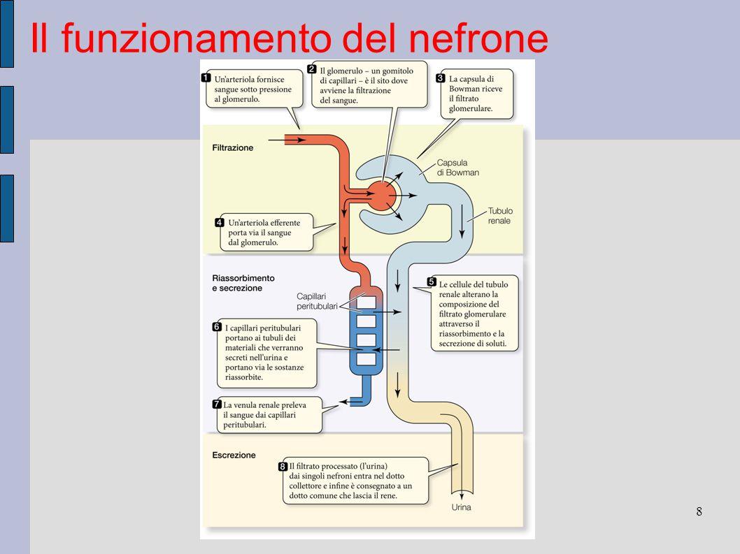 Il funzionamento del nefrone 8