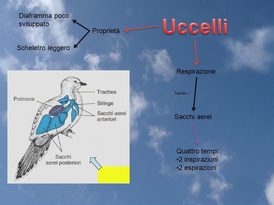 Proprietà Scheletro leggero Respirazione Diaframma poco sviluppato Quattro tempi: 2 inspirazioni 2 espirazioni Sacchi aerei Tramite i