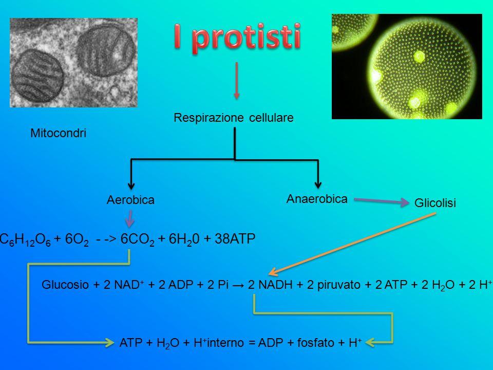 Respirazione cellulare Mitocondri Aerobica Anaerobica C 6 H 12 O 6 + 6O 2 - -> 6CO 2 + 6H 2 0 + 38ATP Glicolisi ATP + H 2 O + H + interno = ADP + fosf