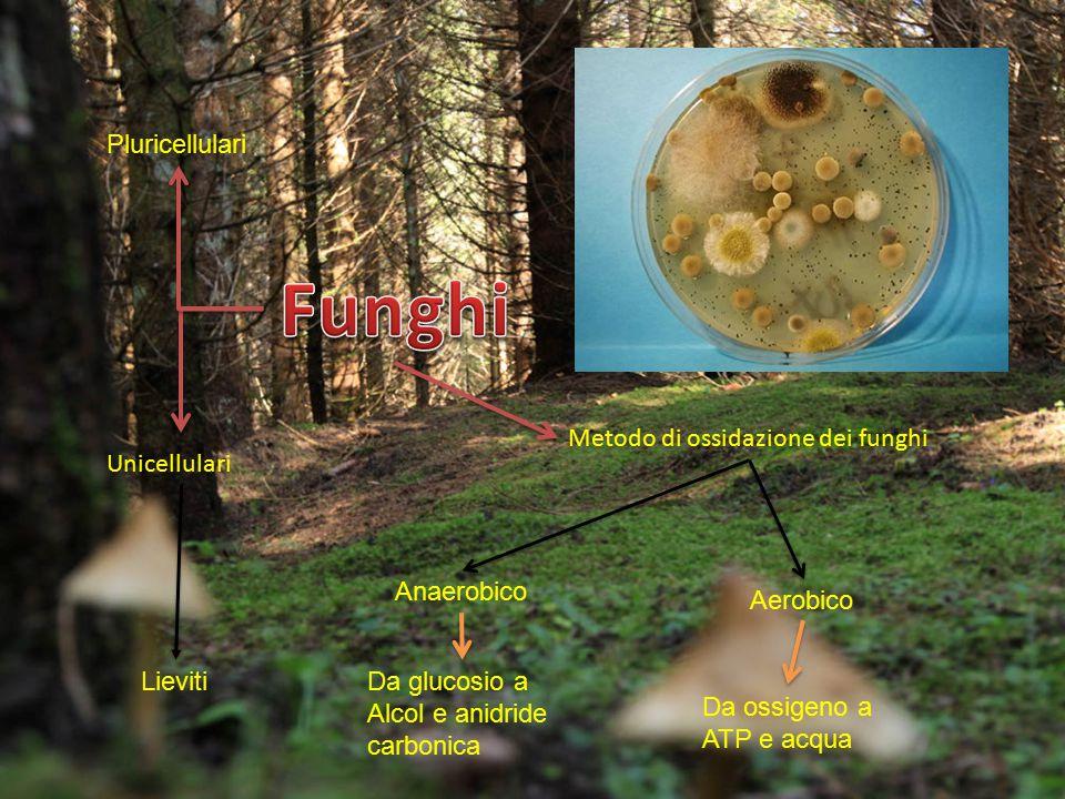 Unicellulari Metodo di ossidazione dei funghi Pluricellulari Lieviti Anaerobico Aerobico Da glucosio a Alcol e anidride carbonica Da ossigeno a ATP e