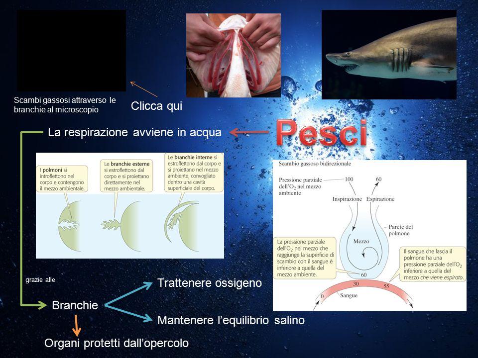 La respirazione avviene in acqua Branchie Trattenere ossigeno Mantenere l'equilibrio salino grazie alle Organi protetti dall'opercolo Scambi gassosi a