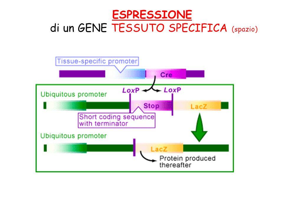 ESPRESSIONE di un GENE TESSUTO SPECIFICA (spazio)